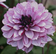 Compact Plants Excellent Cut Flowers Blooms Summer Through Fall Dahlia 'Creme De Cassis' Dahlia, Decorative Soft blushed purple. With their soft quilled petals and vibrant colors, Dahlia add a burst o