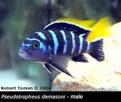 Imagini pentru pseudotropheus demasoni Cichlids, Fish Tank, Pets, Animals, Image, Google Search, Animals And Pets, Animales, Aquarium