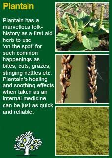 Whelan ~ Medical Herbalist ~ Plantain - All About Gardens Herbs For Health, Healthy Herbs, Natural Herbs, Natural Healing, Natural Health Remedies, Herbal Remedies, Natural Medicine, Herbal Medicine, Medicinal Plants