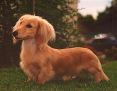 If I can't get a golden retriever dachshund, a long haired dachshund would certainly be nice. And that's what I did, I got Molly Mooch. Dachshund Facts, Dachshund Puppies, Dachshund Love, Golden Dachshund, Cream Dachshund, Daschund, Long Haired Miniature Dachshund, Miniature Dachshunds, Long Haired Dachshund