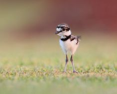 A baby bird with long, skinny legs standing in the grass.