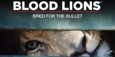Canned Lion Hunting and the release of blood lions - Blood Lions is about to be released in the USA. No doubt it will cause a huge wave of anti-hunting sentiment once again. We too condemn the practice and have actively called upon authorities to update legislation to prevent this slaughter of captive bred lions. The irony here is that the documentary carries a heavy anti hunting sentiment, yet the producers say they are pro-ethical hunting!