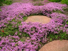 Creeping Thyme -fragrant when bruised, groundcover, walls or crevices, drought tolerant, attracts butterflies