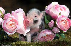 A piglet nestles between rose blooms on a farm in Devon. Courtesy http://dil-ki-dunya.blogspot.com/ (Public Domain). - Pixdaus