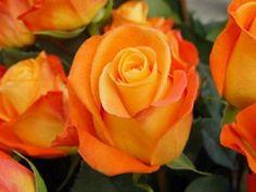 Orange Vodoo Rose - Staalduinen Floral Wholesale