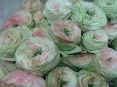 #Rose Latin Pompon