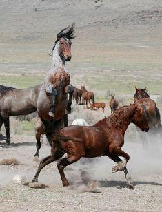 Mustang Appaloosa horses