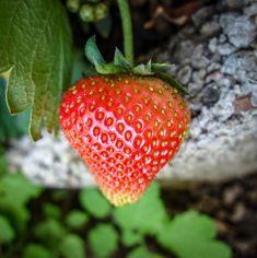 Καλλιέργειες εύκολες για αυτούς που ξεκινούν την κηπουρική – Geoponoi.Gr Strawberry, Fruit, Food, Meal, The Fruit, Essen, Strawberries, Hoods, Meals