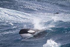 Killer whale surge through the waves