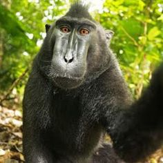 .: Homem ganha na Justiça o direito de selfie tirada por macaco na câmara dele