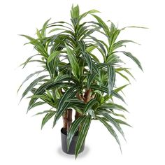 3' Variegated Dracaena Plant - New Growth Designs