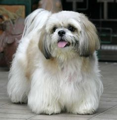 This looks like my Fargo (RIP) He was half Lhasa, half Shih Tzu. Adorable, sweet and loving. I miss him so much.