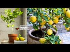How to grow your own lemon tree! Even in northern climates and in the dead of winter, a productive lemon tree can be growing inside of your home or garage. Garden, Plants, Nature, Lemon Tree From Seed, Growing Tomatoes, Tree, Seeds, How To Grow Lemon, Grow Your Own