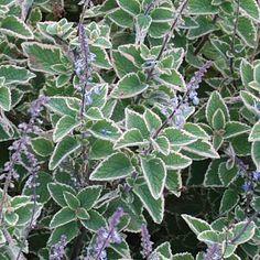 Aussie Plants Online for Australian Gardens