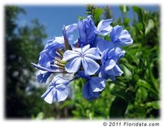 Plumbago flowers bloom most of the spring, summer and fall in various shades of blue (buy plants in bloom to get the shade that you want). A favorite of butterflies, plumbago also is one of the most popular flowering shrubs in Central and South Florida gardens. It is very fast-growing, has few problems and is almost always smiling.