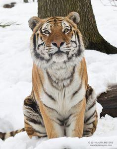 Siberian Tiger - Sasha - at The Bronx Zoo