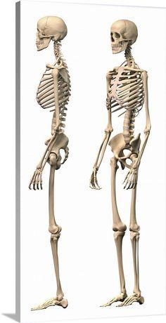 Male Skeleton, Human Skeleton Anatomy, Skeleton Drawings, Human Anatomy Drawing, Skeleton Art, Skeleton Body, Skeleton Makeup, Skull Makeup, Anatomy Bones