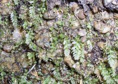 Mnium lycopodioides - měřík plavuňovitý