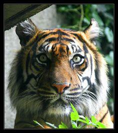 Tiger - http://www.1pic4u.com/blog/2014/11/15/tiger-87/