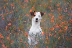 """In need of a Monday pick-me-up? Isis Maria S.' """"meerkat impression"""". #dog #photography #flowers #red #fall #autumn #jackrussell #dogphotography"""
