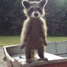 wow cute little raccoon. I can hear in little raccoon voice  : what up bro ;-)