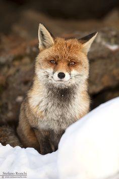 Red fox de RonchiStefano