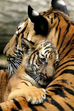 Tiger cub and mom. tiger cub and mom baby animals, animals and pets, cute