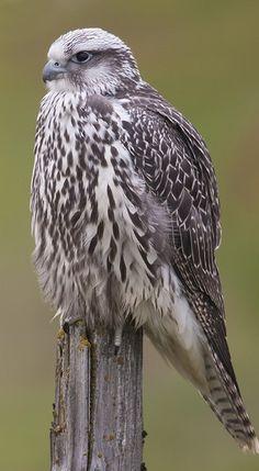 Raptor Bird Of Prey, Birds Of Prey, Merlin Bird, Kestrel, Pray, Hobbies, Color, Falcons, Peregrine