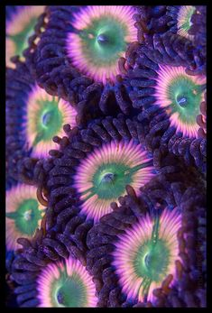 Pink Zoanthid coral by kimberly clark. https://www.flickr.com/photos/kimclark/