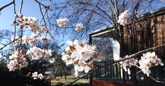 Spring blossoms, August 2014 at Strathnairn Arts.