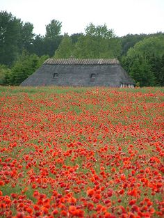 Reed Roof and a field of poppies (papaver rhoeas), Ballen, Southern Funen, Denmark  | Laura West