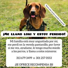 #perroperdido Instagram, Dogs, Animals, You Lost Me, Animales, Animaux, Animal Memes, Animal, Pet Dogs