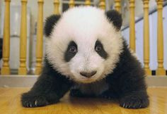 So, it was announced yesterday that the public is being asked to suggest names for the 18 baby pandas in China. Check out the gallery of these poor, nameless baby pandas. Panda Bebe, Cute Panda, Red Panda, Baby Panda Bears, Bear Cubs, Baby Pandas, Polar Bears, Panda Lindo, Baby Animals