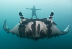 Meet the Scientist Snapping Selfies With Giant Manta Rays | WIRED