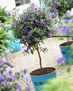 How to Grow Blue Potato Bushes Blue potato bush care Bush Garden, Garden Trees, Trees To Plant, Garden Pots, Purple Flowering Bush, Flowering Bushes, Flower Landscape, Garden Landscape Design, Lantana Tree
