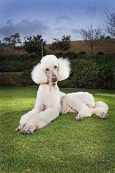Standard Poodle (white)