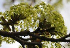 Erable plane (Acer platanoides) | Flickr - Photo Sharing!