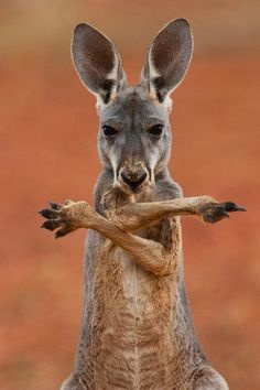 Left or Right? - cute kangaroo