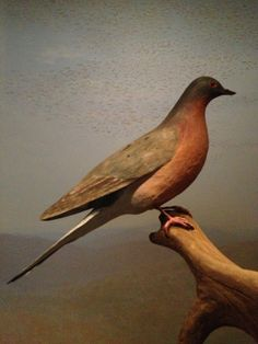'Perilous Passages' an exhibit about the Passenger Pigeon opens at the Birds of Vermont Museum on May 1, 2014