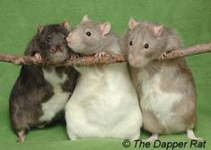 Great guide to different types of rats based on colors and markings.