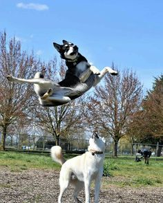 Wonderful All About The Siberian Husky Ideas. Prodigious All About The Siberian Husky Ideas. Cute Funny Animals, Funny Animal Pictures, Cute Baby Animals, Dog Pictures, Funny Dogs, Animals And Pets, Happy Animals, Dog Photos, Cute Husky