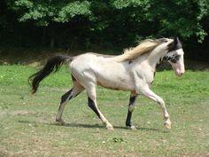 He's Ebony And Ivory - Black Overo Tennessee Walking Stallion All The Pretty Horses, Beautiful Horses, Tennessee Walking Horse, Horse Therapy, Horse Ears, American Saddlebred, Horse Pattern, Horse World, Horse Saddles