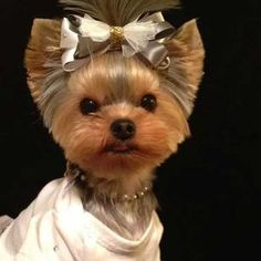 Yorkie Haircuts for Males and Females (Cute Yorkshire terrier Hairstyles and Cuts) - Yorkiemag Yorky Terrier, Yorshire Terrier, Bull Terriers, Yorkshire Terrier Haircut, Yorkshire Terrier Puppies, Yorkies, Yorkshire Macho, Yorkie Cuts, Yorkie Hairstyles