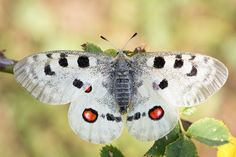 Roter Apollofalter ♥ Mountain Apollo ♥ Parnassius apollo © Bernd Fliker at Google+ ღஐƸ̵̡Ӝ̵̨̄Ʒஐღ
