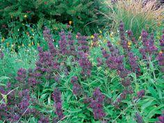 Hummingbird sage (Salvia spathacea) Side of driveway
