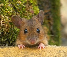 Sweet Little Mouse coming out to see the world