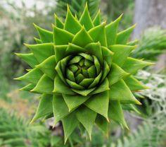 plantas geometricas-25. Araucaria arucana