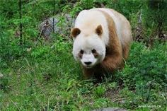 Image result for brown panda