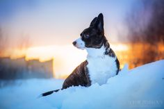 Sunset Lilly - welsh corgi cardigan