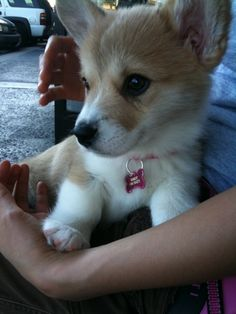 BFF Wallaby More cute baby animal pictures! baby animals Corgi mom do I HAVE to eat with chop sticks I know we. Cute Corgi, Corgi Dog, Cute Puppies, Dogs And Puppies, Dog Cat, Cute Baby Animals, Animals And Pets, Funny Animals, National Puppy Day